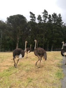 Ostrich at Chamonix wine farm